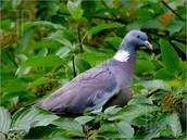 Pigeon!
