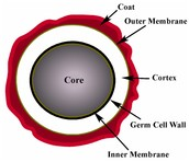 11B: What is an endospore and how does it affect people?