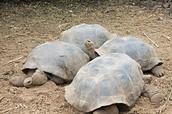 Las Tortugas del Galápagos