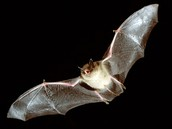 Only Myotis with the wing membrane attached to the ankle