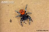 male - Ladybird