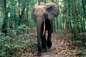 African Forests Elephant