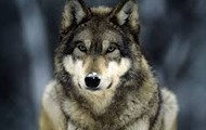 Gray Wolf is endagered