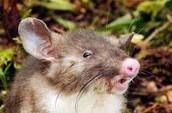 3. Hog-nosed rat ( Hyorhnomys stuempei)