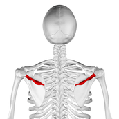 Spina scapula