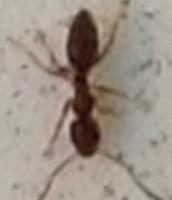 Camponotus Caryae