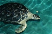 Adult Black Turtle