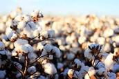 A cotton Plant