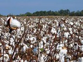 What The Cotton Looked Like