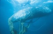 Whales are being caught in netting too!