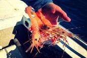 Here Shrimpy!