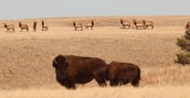 Elk and Bison