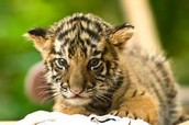Baby tiger after a bath