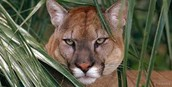 Classification of a Florida Panther