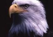 Woden Eagles