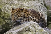 amur resting after hunt