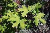 BigLeaf Maple leaves