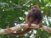 Brown howling monkey (Alouatta guariba)