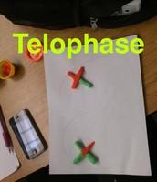 Telophase (meiosis)
