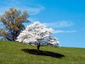 State flower and tree: American Dogwood