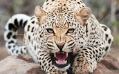 1. Cheetah info.