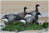 What you should Understand about Snow Goose Hunt