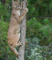 Cougar (Puma, Mountain Lion)
