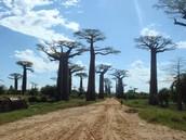 L'Avenue des Baobabs
