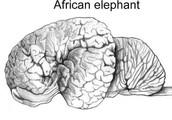 African elephant brain