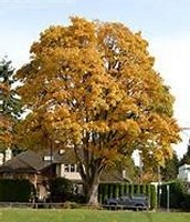 BigLeaf Maple from a distance