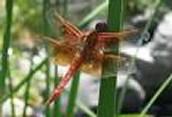 Flame Skimmer Egg Hatching