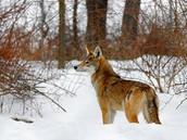 http://3219a2.medialib.glogster.com/jayzzd/media/e4/e4245447fb6359d5608da6f4a0c107e4e4515d54/red-wolf.jpg