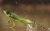 Jesus Lizard (can run on water!)
