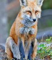 How good is the red fox at hunting