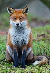 About the Red Fox