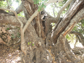 Fig 5: The trunk of a mature carob tree