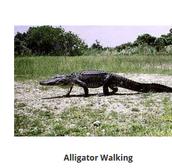 a teenager alligator.