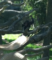Asheboro Zoo Chimpanzee