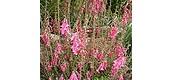 Common (pink) heath