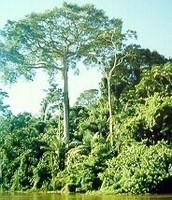 Kapok Tree: Ceiba pentandra