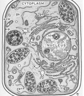 lysosome in plant cells