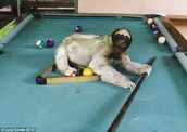 Sloth playing pool