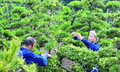 Japan trying to Replenish the population of trees