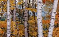Paper Birch Tree