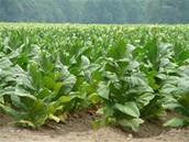 Tabaco cash crop