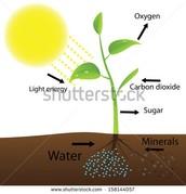 Photosynthasis