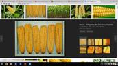 Growing crops.