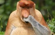 RUBING NOSE MONKEY