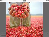 Cranberry fields!