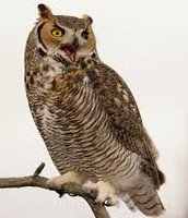 A great horned owl hooting